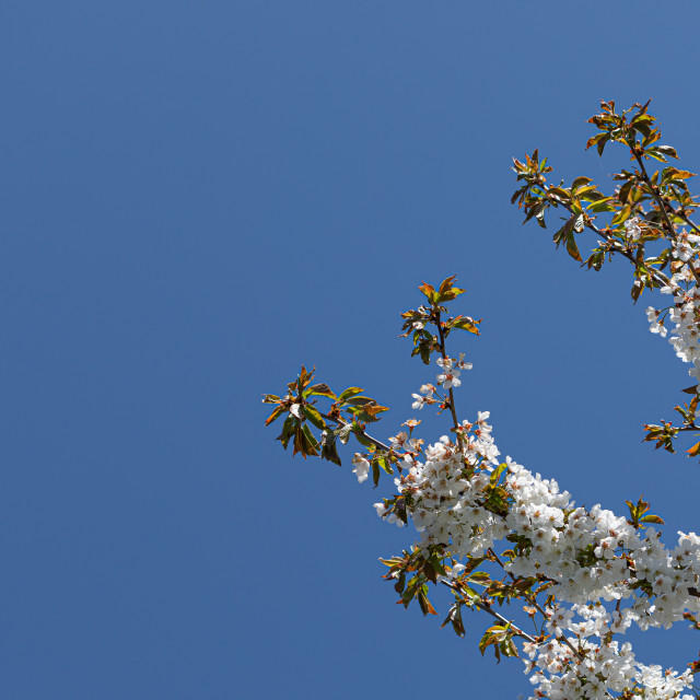 """""""White. Blossom. Flowers Cherry. Trees Spring. Nature"""" stock image"""