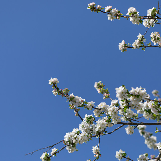 """""""White. Blossom. Flowers Cherry. Trees. Spring. Nature"""" stock image"""