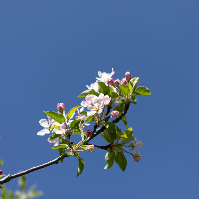 """""""White Flowers Cherry. Trees. Spring. Blossom. Nature"""" stock image"""