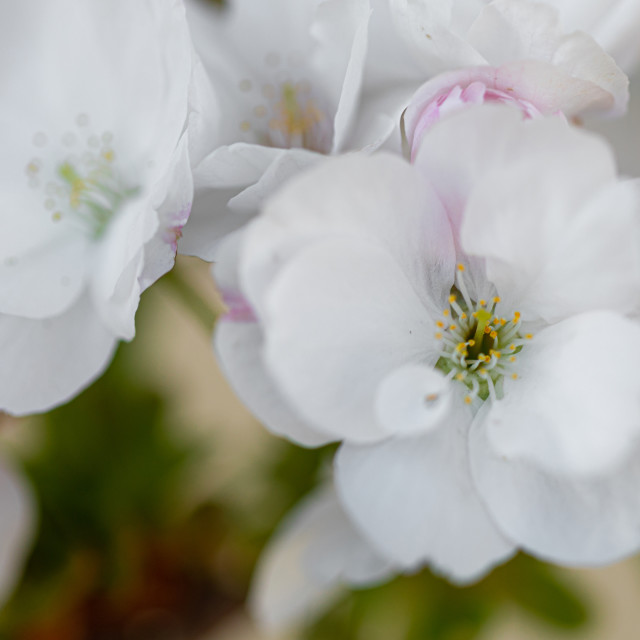 """""""White. Flowers. Cherry Trees. Spring. Blossom. Nature"""" stock image"""
