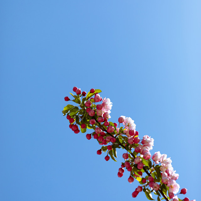 """""""White. Flowers. Cherry. Trees. Pink. Blossom. Nature"""" stock image"""