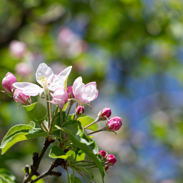 """""""White. Flowers. Cherry. Trees. Spring Blossom. Nature"""" stock image"""