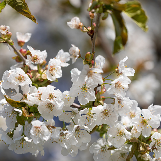 """""""White. Flowers. Cherry. Trees. Spring. Blossom. Nature"""" stock image"""