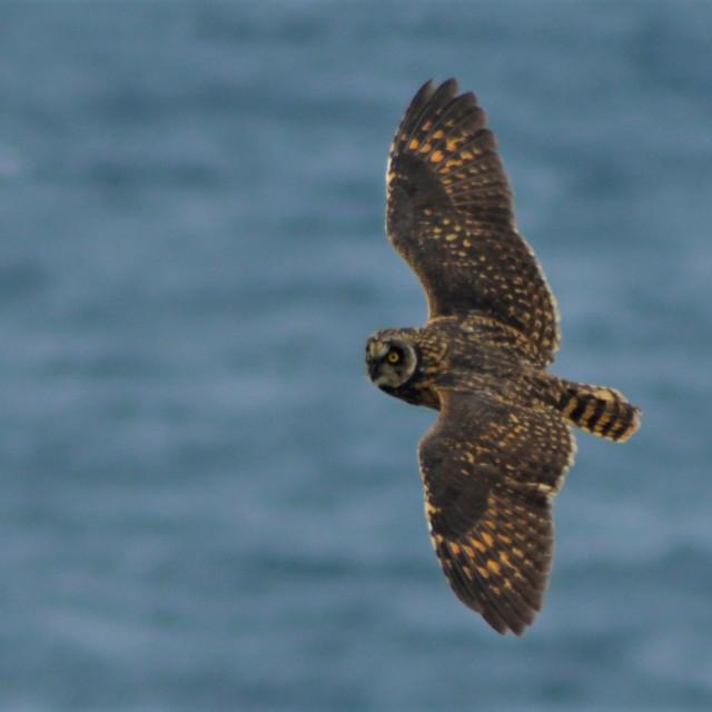 """""""SHORT-EARED OWL"""" stock image"""