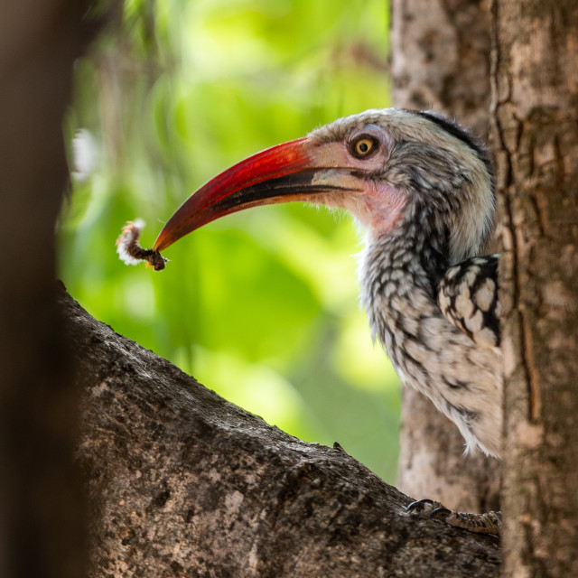 """""""Hornbill with worm"""" stock image"""