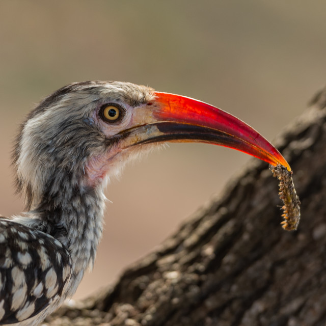 """""""Hornbill profile with worm"""" stock image"""