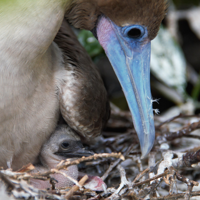 """""""RED-FOOTED BOOBY AND BABY"""" stock image"""