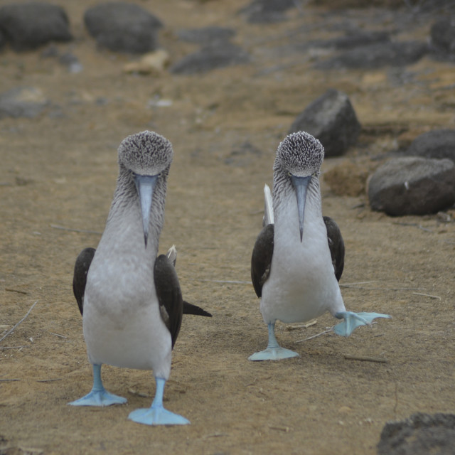 """""""BLUE-FOOTED BOOBIES"""" stock image"""