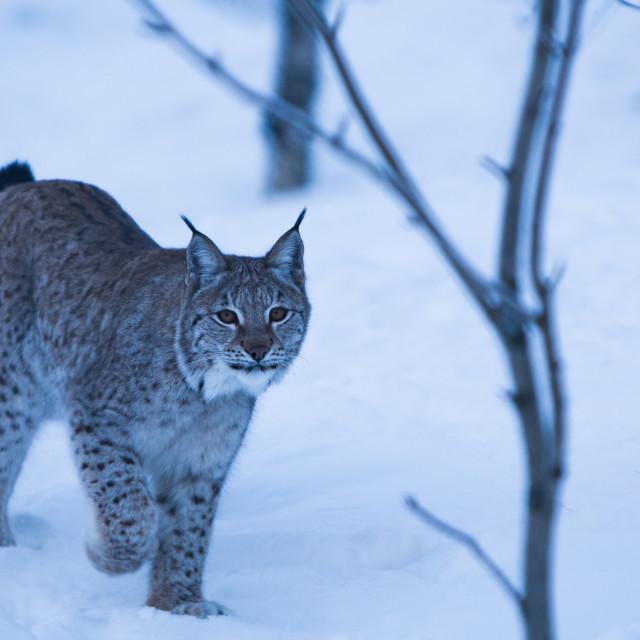 """Lynx Stroll"" stock image"