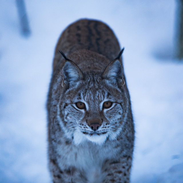 """Lynx Stare"" stock image"