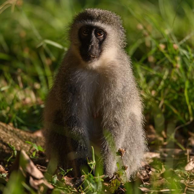 """""""Vervet Monkey in grass"""" stock image"""