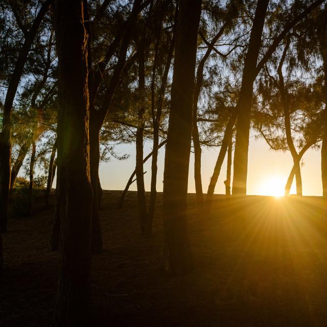 """Sunset Through Trees"" stock image"