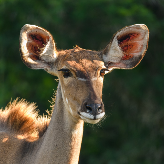 """Kudu Cow"" stock image"