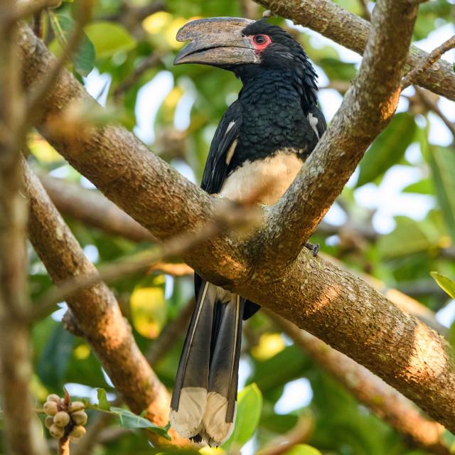 """""""Trumpeter Hornbill in tree"""" stock image"""