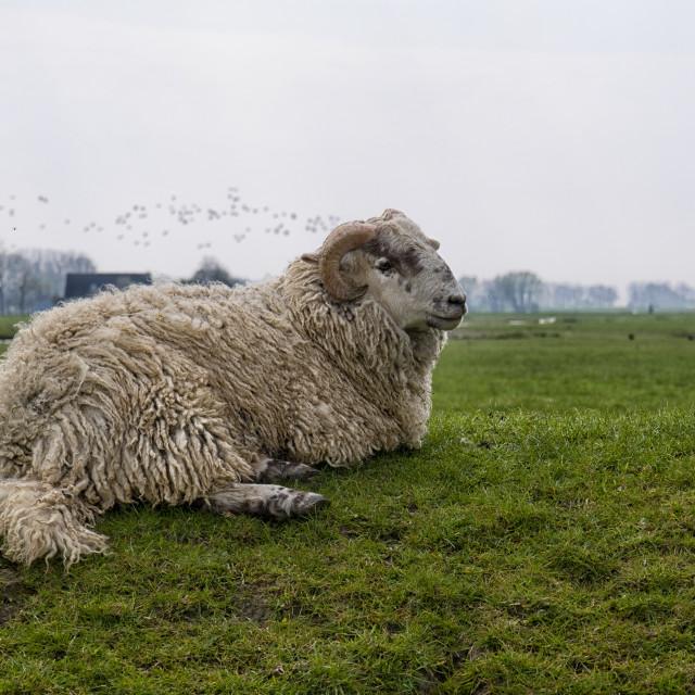 """""""Horned sheep in Groningen"""" stock image"""