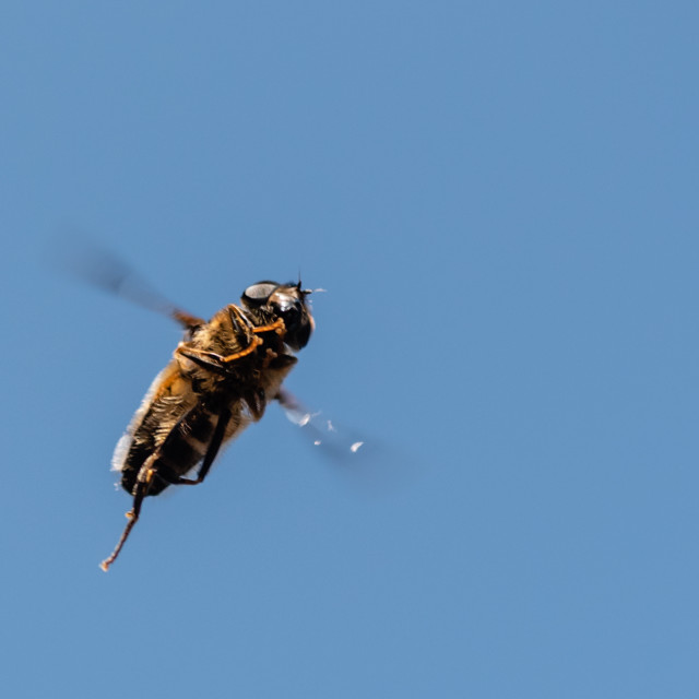 """Hoverfly in flight, blue sky ii."" stock image"