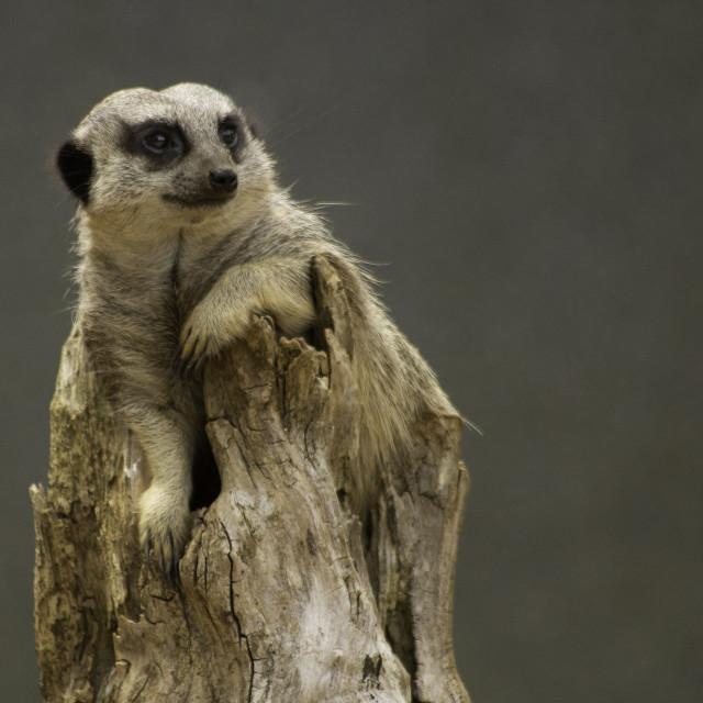 """""""Relaxing Meerkat"""" stock image"""