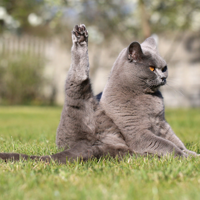 """""""English cat poses for outdoor photos."""" stock image"""