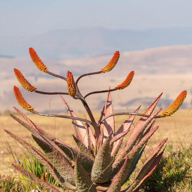 """""""Aloe plant and flowers"""" stock image"""