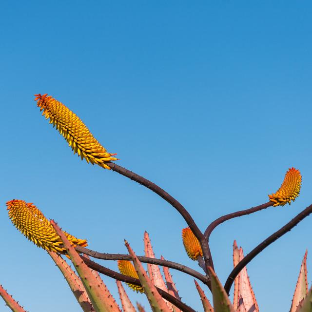 """Aloe Flowers"" stock image"