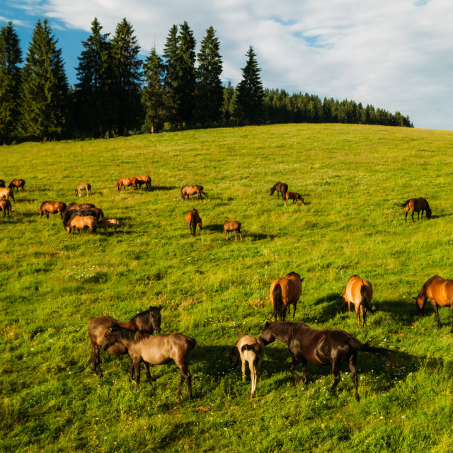 """""""Grazing brown horses in summer on a beautiful meadow"""" stock image"""