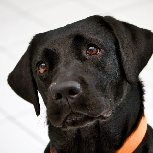 """""""Black Labrador Retriever looking curiously up and to the side."""" stock image"""
