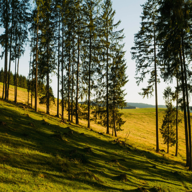 """""""Inside a spruce forest with a meadow"""" stock image"""