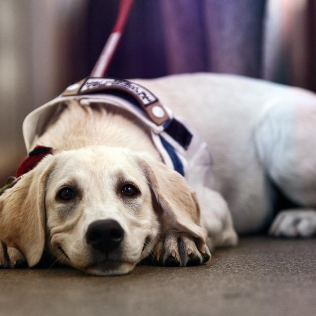 """""""Smiling white Labrador Retriever"""" stock image"""