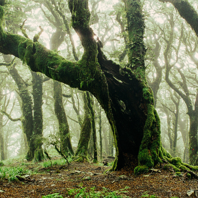 """""""An old moss covered tree in a spooky misty forest"""" stock image"""