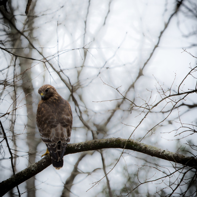 """""""Red shouldered hawk perched on branch of tree"""" stock image"""