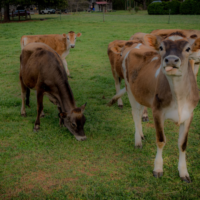 """""""Small herd of cows standing in a pasture on a farm with one sticking it's..."""" stock image"""