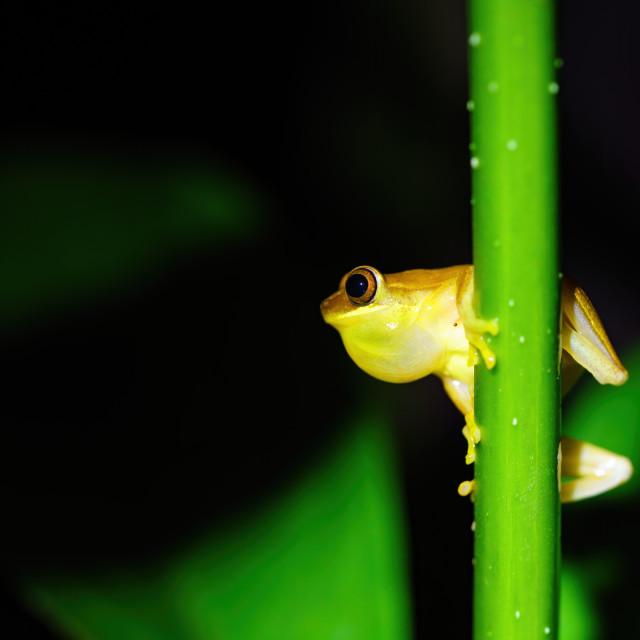 """Small-headed tree frog (Hyla microcephala)"" stock image"