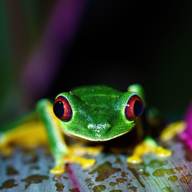 """Red-Eyed Tree Frog (Agalychnis callidryas) close-up portrait sitting on a..."" stock image"