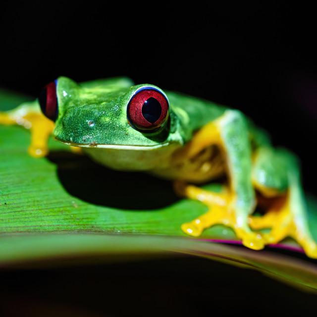 """Red-Eyed Tree Frog (Agalychnis callidryas) with huge eyes, taken in Costa Rica"" stock image"