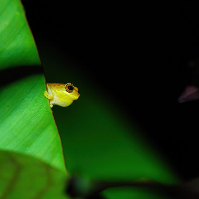 """Small-headed tree frog (Hyla microcephala) in Costa Rica"" stock image"