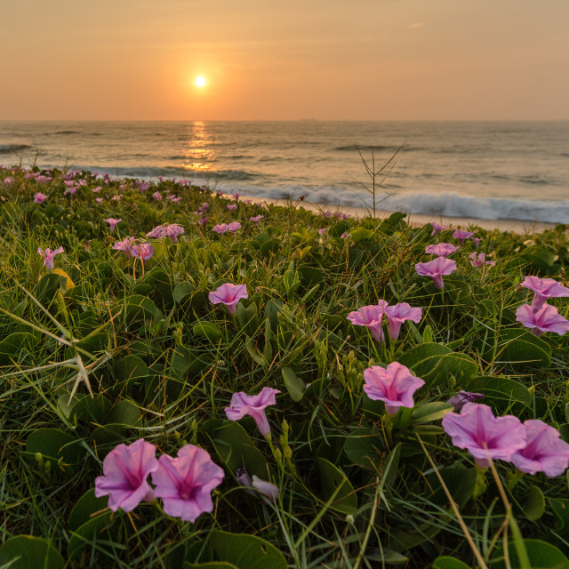 """""""Purple flowers at sunrise"""" stock image"""