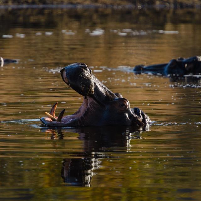 """Hippopotamus Gaping"" stock image"