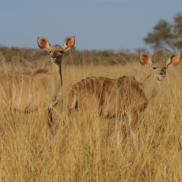 """Kudu calves in grassKudu cow in grass"" stock image"