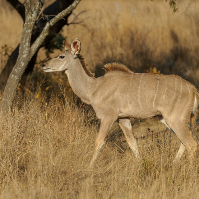 """""""Kudu cow in grass"""" stock image"""