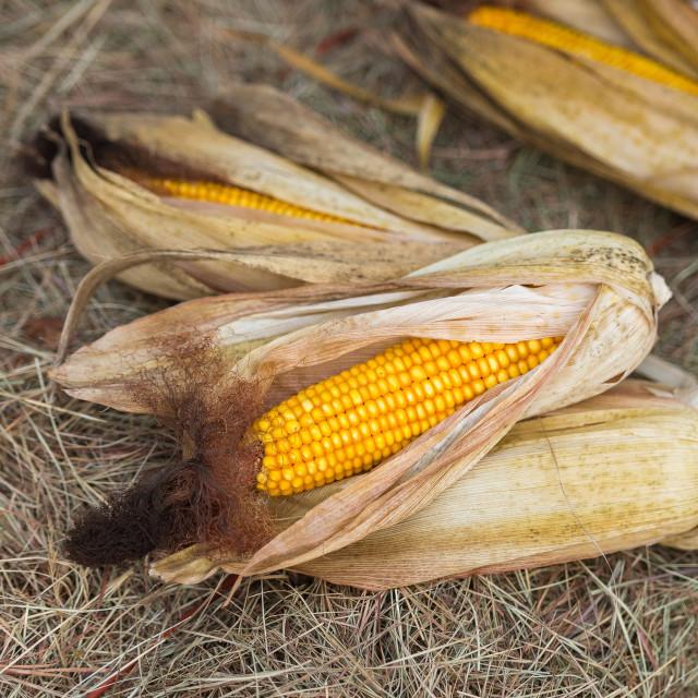 """Dry corn"" stock image"