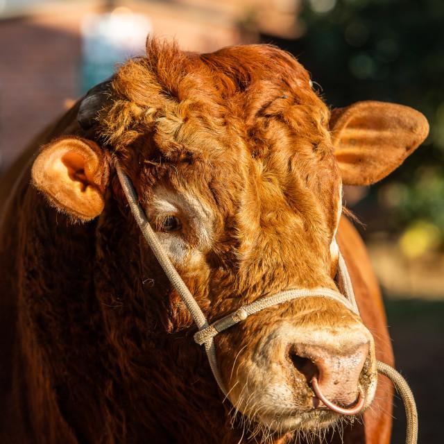 """Bull Portrait"" stock image"