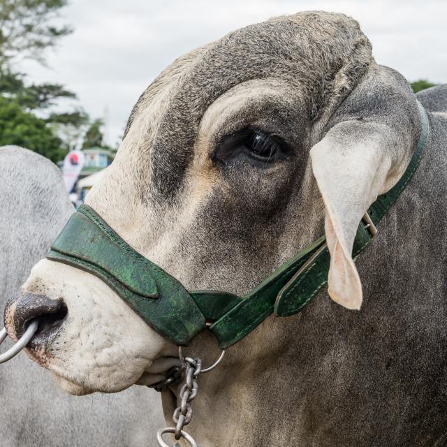 """Brahman bull"" stock image"