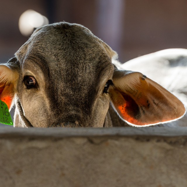 """Brahman Calf in stall"" stock image"