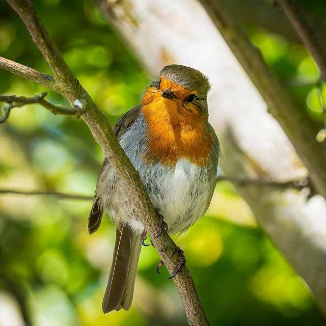 """""""Robin in a tree."""" stock image"""