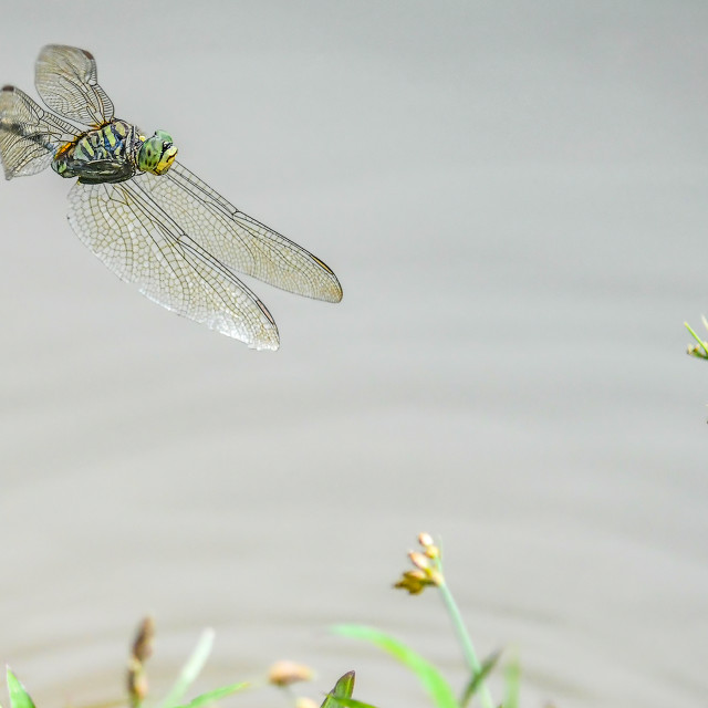 """""""Dragonfly in Flight 03"""" stock image"""