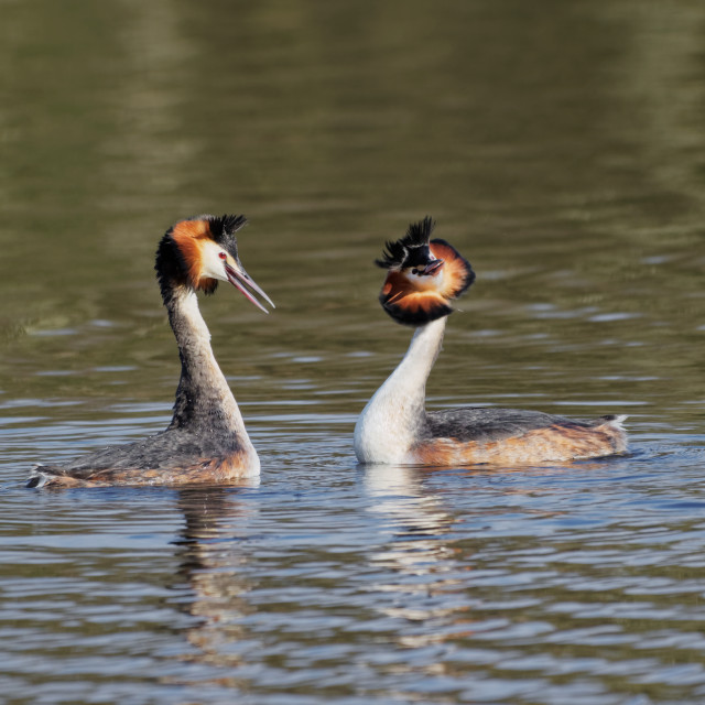 """""""Great Crested Grebe Dance"""" stock image"""