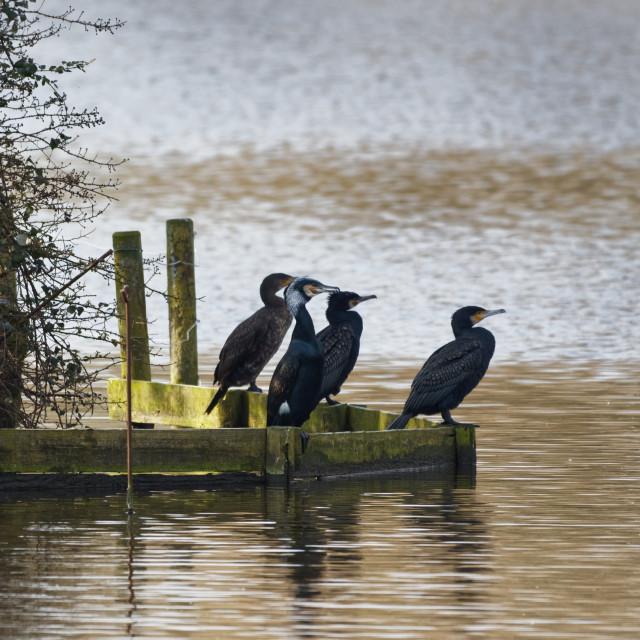 """Cormorants Resting"" stock image"