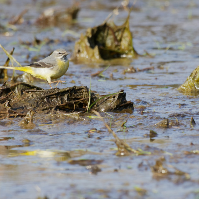 """""""Grey Wagtail in the mud"""" stock image"""