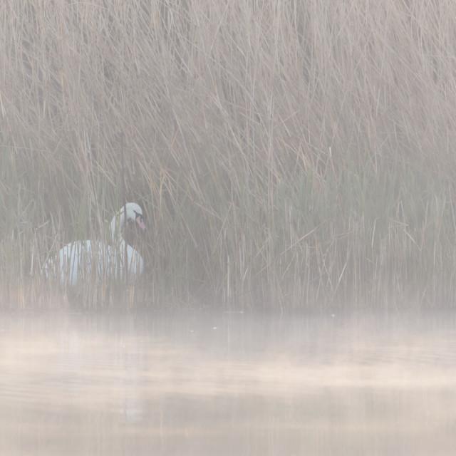 """Misty Swan"" stock image"