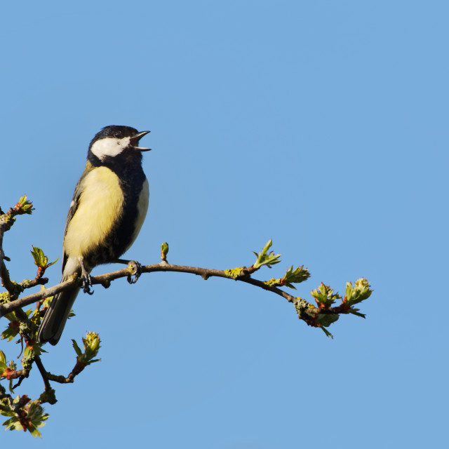 """""""A Great Tit Singing"""" stock image"""